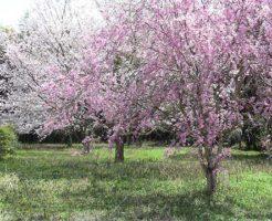 樹木葬-桜